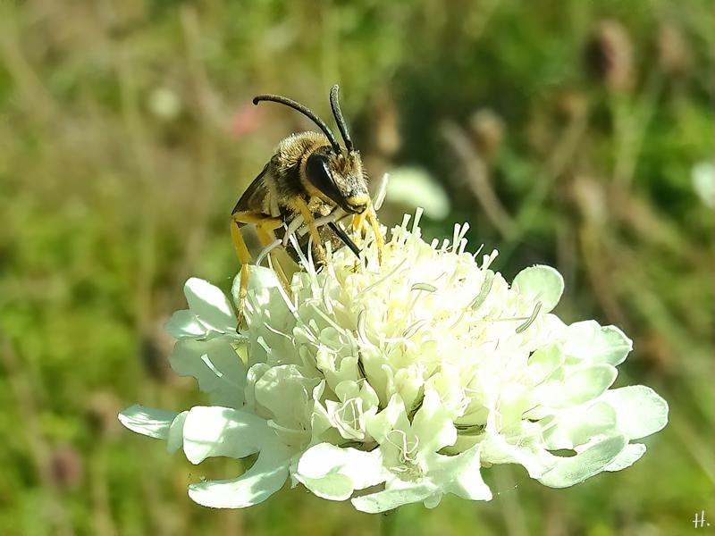 2021-09-09 LüchowSss Garten Gelbbindige Furchenbienen (Halictus scabiosae) Männchen v. vorn + Gelb-Skabiose (Scabiosa ochroleuca) (2)