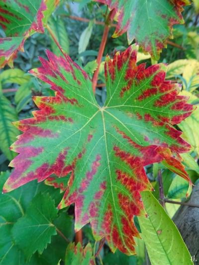 2021-09-10 LüchowSss Garten grünbuntes Weinblatt der blauen Traubensorte
