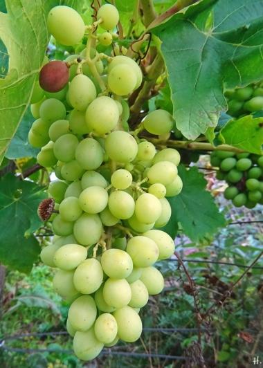 2021-09-10 LüchowSss Garten noch unreife weisse Weintraube spanisch