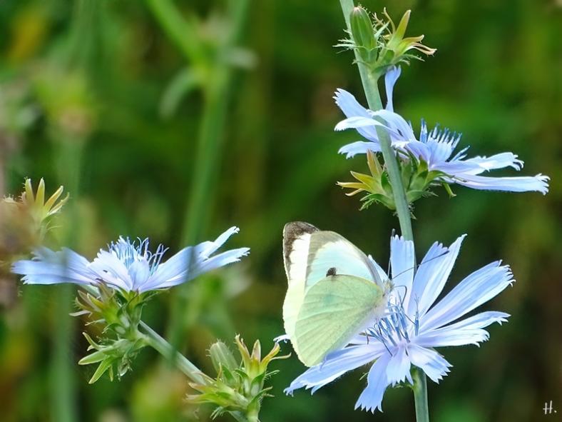 2021-09-11 LüchowSss Garten Wegwarte (Cichorium intybus) + Gr. Kohlweissling (Pieris brassicae)