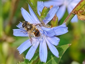 2021-09-11 LüchowSss Garten Wegwarte (Cichorium intybus) + Scheinbienen-Keilfleckschwebfliege (Eristalis tenax) (2)