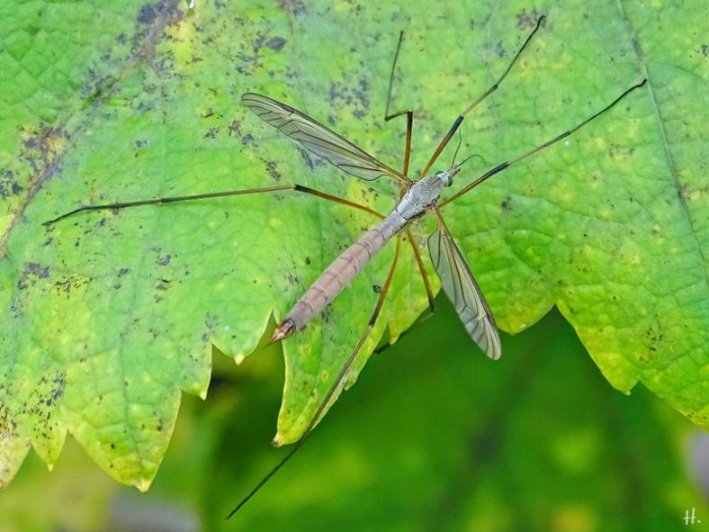 2021-09-11 LüchowSss Garten Wiesenschnake (Tipula paludosa) weiblich