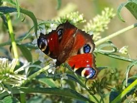 2021-09-14 LüchowSss Garten weisser Schmetterlingsflieder (Buddleja) + Tagpfauenauge (Aglais io) (1)