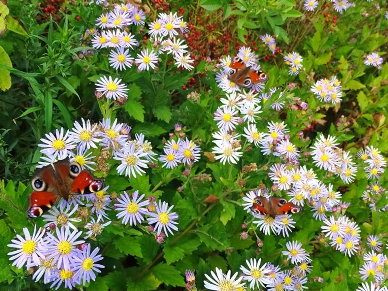 2021-09-15 LüchowSss Garten Asiatische Wildaster (Aster ageratoides) 'Asran' + Tagpfauenaugen (Aglais io) (2)