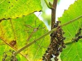 2021-09-15 LüchowSss Garten Wiesenschnake (Tipula paludosa) männlich