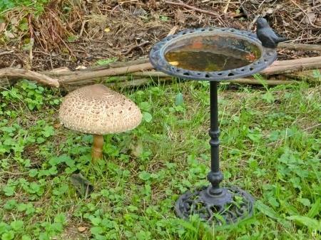 2021-09-17 LüchowSss Garten Gemeiner Riesenschirmling, Parasol bzw. Riesenschirmpilz (Macrolepiota procera) (1)
