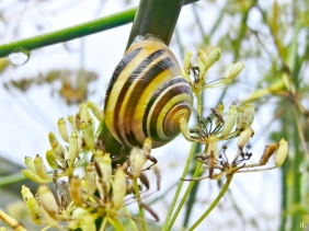 2021-09-18 LüchowSss Garten Fenchel + Garten- bzw. Weißmündige Bänderschnecke (Cepaea hortensis) bzw. Garten-Schnirkelschnecke