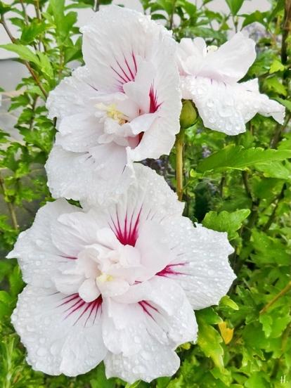 2021-09-18 LüchowSss Garten Strauch-Eibisch (Hibiscus syriacus) 'China Chiffon Bricutt'