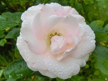 2021-09-18 LüchowSss Garten Tantau-Beetrose 'Aspirin' mit Regentropfen
