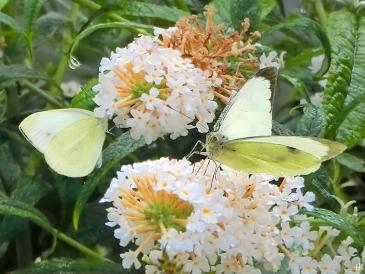 2021-09-18 LüchowSss Garten weisser Schmetterlingsflieder (Buddleja) + 2 Gr. Kohlweisslinge (Pieris brassicae)