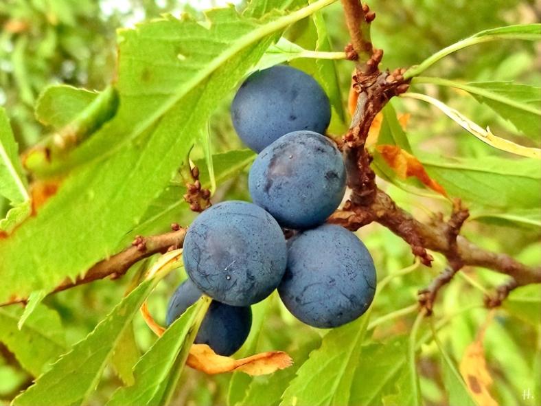 2021-09-20 LüchowSss Feldmark am Wegrand, Schlehen (Prunus spinosa)