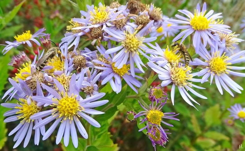 2021-09-20 LüchowSss Garten Asiat. Wildastern (Aster ageratoides) 'Asran' + 2 Gelbbindige Furchenbienen (Halictus scabiosae) männlich (3)