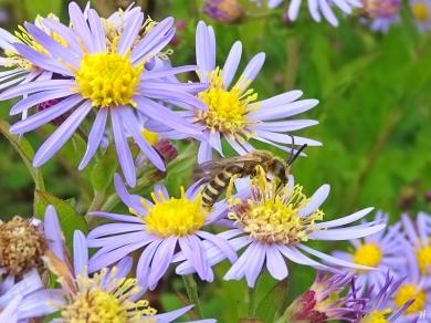 2021-09-20 LüchowSss Garten Asiat. Wildastern (Aster ageratoides) 'Asran' + Gelbbindige Furchenbienen (Halictus scabiosae) männlich (2)