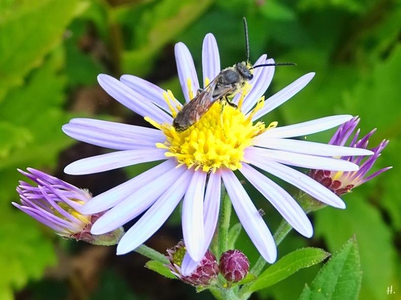 2021-09-20 LüchowSss Garten Asiat. Wildastern (Aster ageratoides) 'Asran' + Gemeine Furchenbiene (Lasioglossum calceatum) männlich (1)