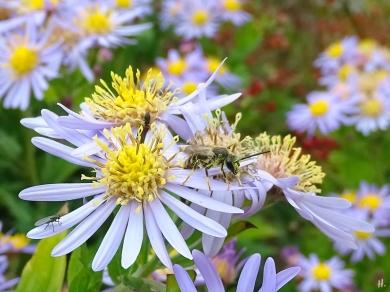2021-09-20 LüchowSss Garten Asiat. Wildastern (Aster ageratoides) 'Asran' + unbest. Furchenbiene (Halictus spec.) männlich (1)