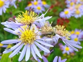 2021-09-20 LüchowSss Garten Asiat. Wildastern (Aster ageratoides) 'Asran' + unbest. Furchenbiene (Halictus spec.) männlich (2)