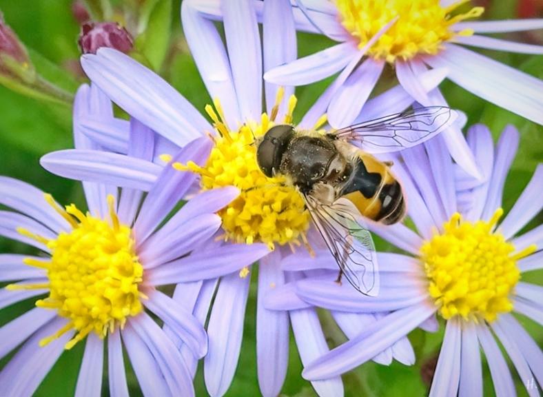 2021-09-20 LüchowSss Garten Asiatische Wildaster 'Asran' (Aster ageratoides) + Kl. Keilfleck-Schwebfliege (Eristalis arbustorum) (1)