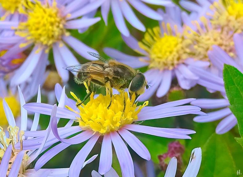 2021-09-20 LüchowSss Garten Asiatische Wildaster 'Asran' (Aster ageratoides) + Kl. Keilfleck-Schwebfliege (Eristalis arbustorum) (2)