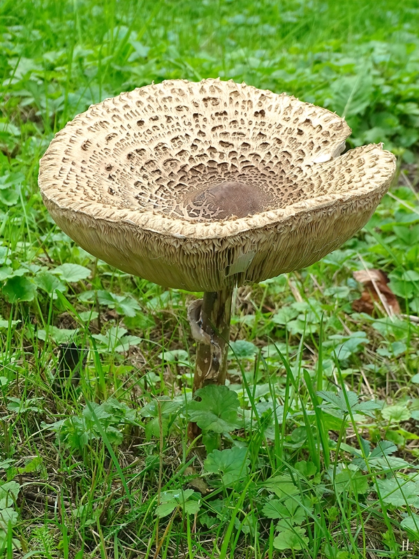 2021-09-20 LüchowSss Garten Gemeiner Riesenschirmling, Parasol bzw. Riesenschirmpilz (Macrolepiota procera)