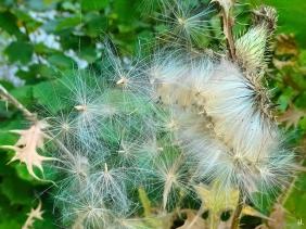 2021-09-20 LüchowSss Garten Gewöhnliche Kratzdistel (Cirsium vulgare) Samen