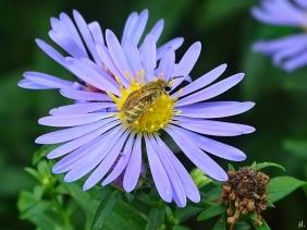 2021-09-20 LüchowSss Garten Goldglänzende Furchenbiene (Halictus subauratus) + Neubelgische bzw. Glattblatt-Aster (Symphyotrichum novi-belgii) (2)