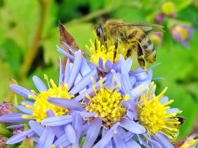 2021-09-20 LüchowSss Garten männl. Honigbiene (Apis mellifera) + Asiatische Wildaster (Aster ageratoides) 'Asran'