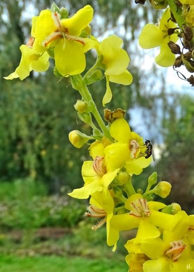 2021-09-20 LüchowSss Garten Nachblüte Kandelaber-Königskerze (Verbascum olympicum) + Gemeine Keulenschwebfliege (Syritta pipiens) (1)