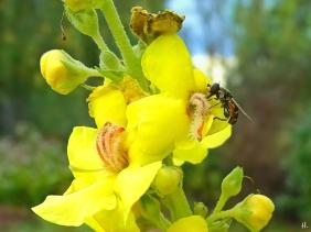 2021-09-20 LüchowSss Garten Nachblüte Kandelaber-Königskerze (Verbascum olympicum) + Gemeine Keulenschwebfliege (Syritta pipiens) (2)