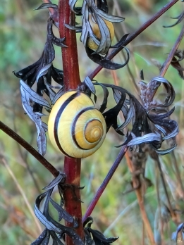 2021-09-22 LüchowSss Spaziergang Hain-Bänderschnecke (Cepaea nemoralis) an Beifuss (Artemisia vulgaris)