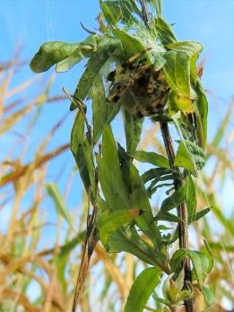 2021-09-22 LüchowSss Spaziergang Vierfleckkreuzspinne (Araneus quadratus) -Weibchen im Versteck