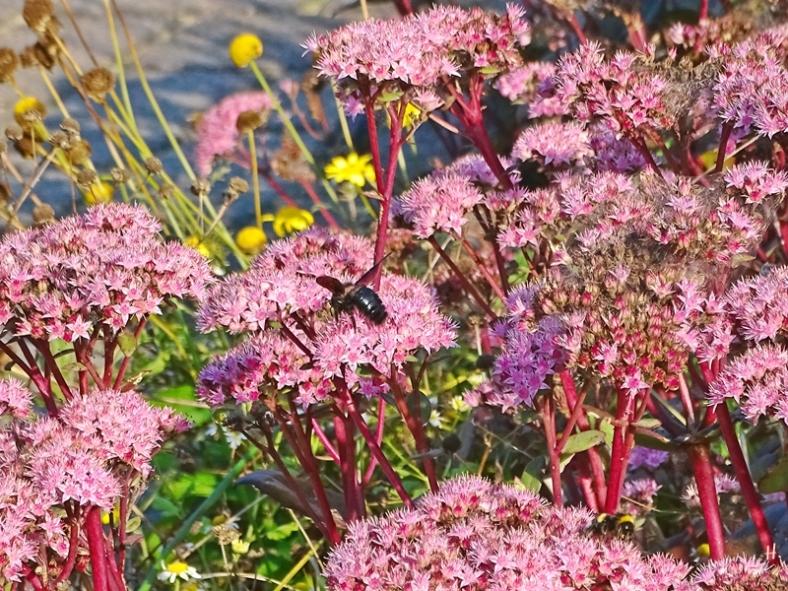2021-09-26 LüchowSss Garten Blaue Holzbiene (Xylocopa violacea) + Hohe Fetthenne 'Matrona' (Sedum Telephium-Hybride) mit Erdhummel im Vordergrund