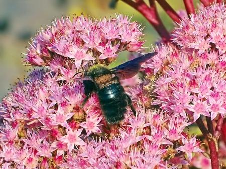 2021-09-26 LüchowSss Garten Blaue Holzbiene (Xylocopa violacea) + Hohe Fetthenne 'Matrona' (Sedum Telephium-Hybride) (5)