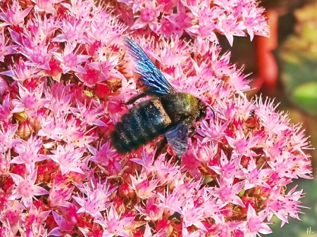 2021-09-26 LüchowSss Garten Blaue Holzbiene (Xylocopa violacea) + Hohe Fetthenne 'Matrona' (Sedum Telephium-Hybride) (7)