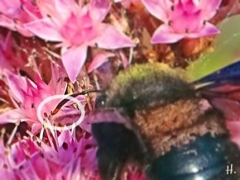 2021-09-26 LüchowSss Garten Blaue Holzbiene (Xylocopa violacea) + Hohe Fetthenne 'Matrona' (Sedum Telephium-Hybride), männl. Fühler (8kl)
