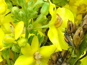 2021-09-26 LüchowSss Garten Kandelaber-Königskerze (Verbascum olympicum) + Asiat. Marienkäfer (Hamonia axyridis)-Larve