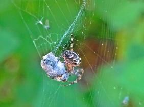 2021-09-26 LüchowSss Garten nami Garten-Kreuzspinne (Araneus diadematus) im Netz + Beute