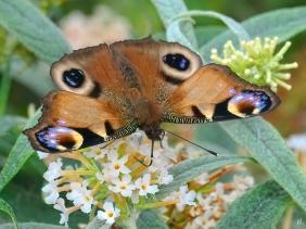 2021-09-26 LüchowSss Garten Tagpfauenauge (Aglais io) braune Aberration + weisser Schmetterlingsflieder (Buddleja) (3)
