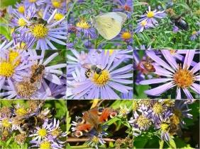 2021-09-26 bis 10-06 LüchowSss Garten 1x9 Insekten an Herbstastern