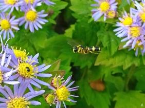 2021-09-26 LüchowSss Garten Bienenjagende Knotenwespe (Cerceris rybyensis)G + Asiat. Wildastern (Aster ageratoidies) 'Asran'