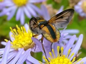 2021-09-26 LüchowSss Garten Breitflügelige Raupenfliege (Ectophasia crassipennis) + Asiatische Wildaster (Aster ageratoides) 'Asran' (2)