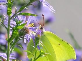 2021-09-27 LüchowSss Garten Zitronenfalter (Gonepteryx rhamni) + Glattblattaster (Symphyotrichum novi-belgii )