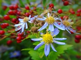 2021-10-13 LüchowSss Garten Asiatische Wildaster (Aster ageratoides) + Büschelrose (Rosa multiflora)-Hagebutten