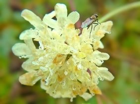 2021-10-13 LüchowSss Garten Gelb-Skabiose (Scabiosa ochroleuca) + Fliege