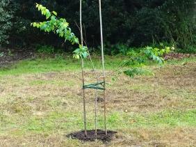 2021-10-13 LüchowSss Garten Kirschpflaume (Prunus cerasifera) normal, frisch gepflanzt