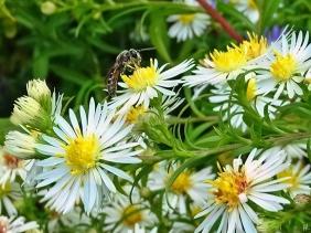 2021-10-20 LüchowSss Garten Bunte Glattblatt-Aster (Aster × versicolor) + Gewöhnliche Schmalbiene (Lasioglossum calceatum)