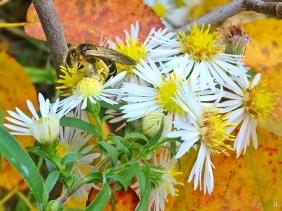 2021-10-20 LüchowSss Garten Bunte Glattblatt-Aster + Rotbeinige Furchenbiene (Halictus rubicundus) + Felsenbirnblätter