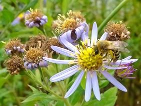 2021-10-20 LüchowSss Garten Efeu-Seidenbiene (Colletes hederae) + Asiat.Wildaster (Aster ageratoides) 'Asran' (3)