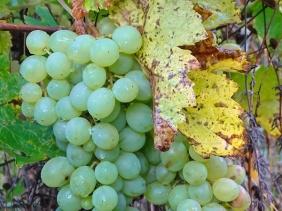 2021-10-22 LüchowSss Garten Spanische Reben - 2 Weintrauben (Vitis vinifera ssp. vinifera), noch unreif