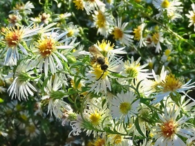 2021-10-24 LüchowSss Garten Bunte Glattblatt-Aster + verm. Gelbbindige Furchenbiene (Halictus scabiosae)